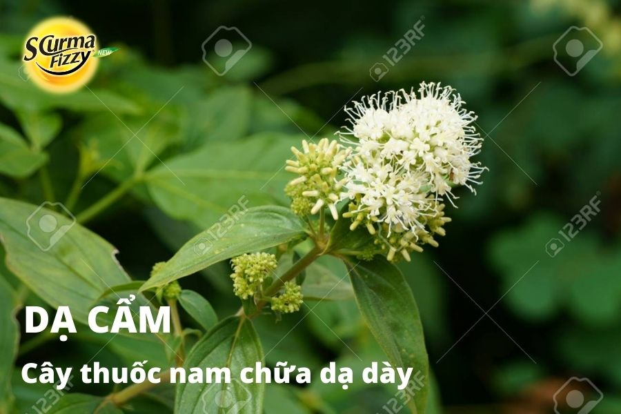 cay-thuoc-nam-chua-da-day-5