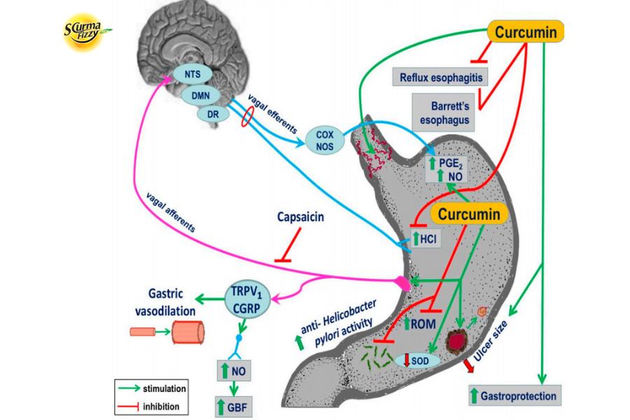 Nano cururmin bảo vệ niêm mạc dạ dày do căng thẳng