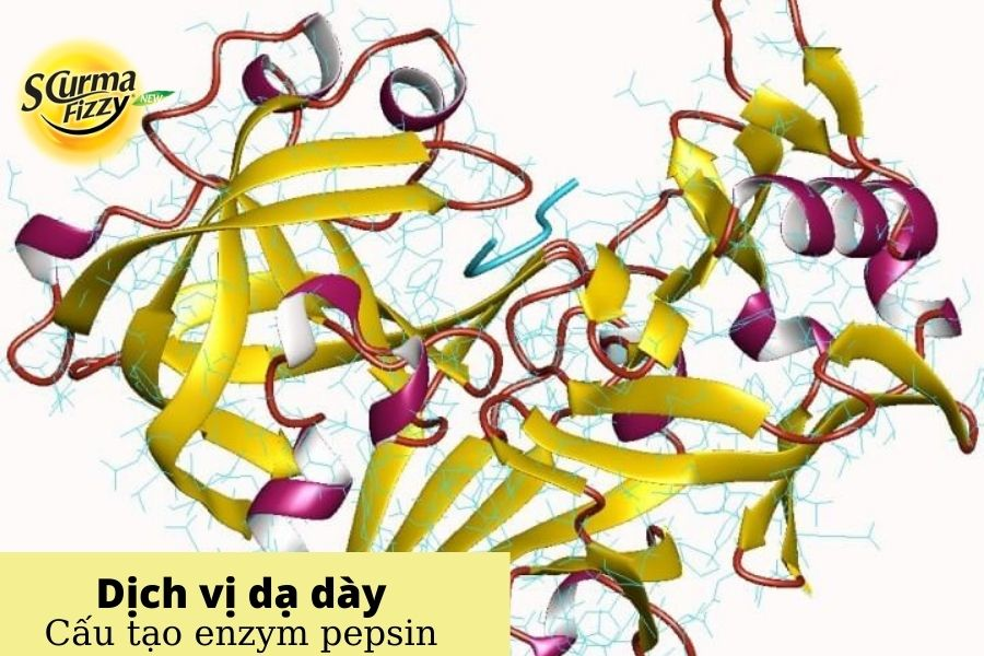 Cấu tạo enzym pepsin