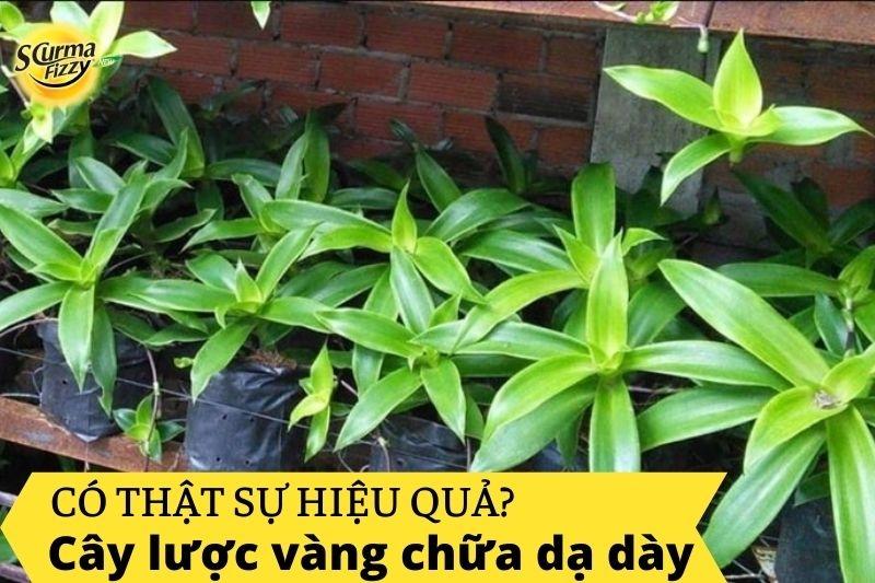 cay-luoc-vang-chua-dau-da-day
